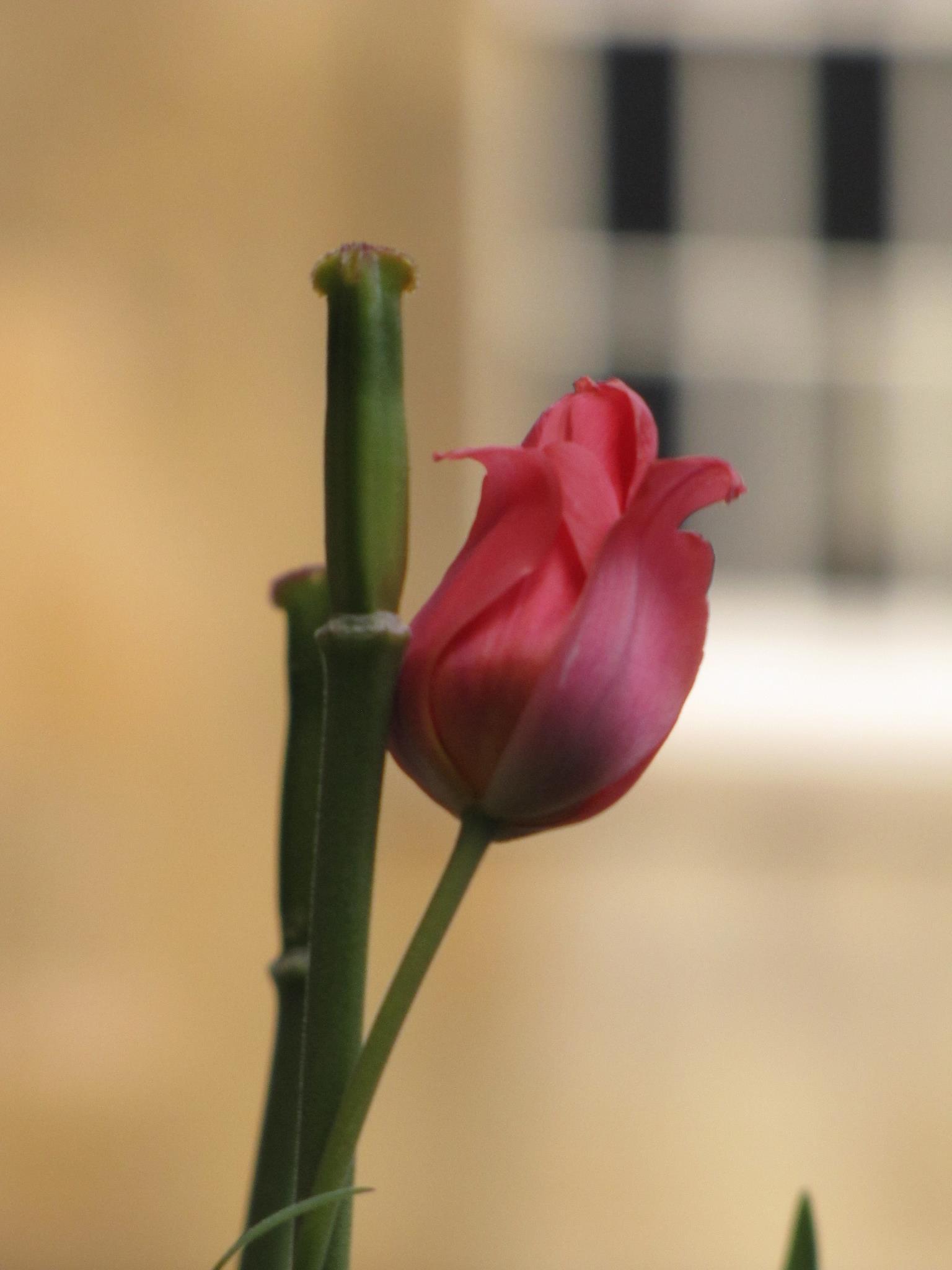 Caius flower